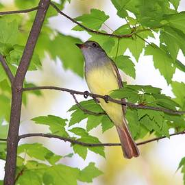 Great Crested Flycatcher in Spring by Marlin and Laura Hum