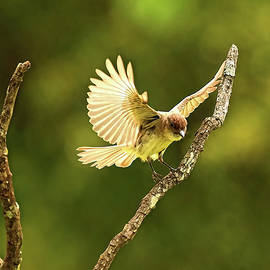 Great Crested Flycatcher by Stuart Harrison