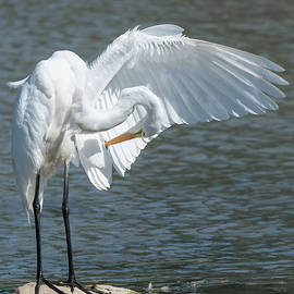 Great Egret 2021 11 by Judy Tomlinson