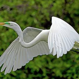 Great Egret 2141 by Matthew Lerman