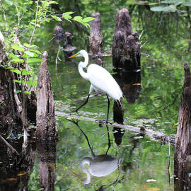 Great Egret Amidst the Cypress Knees by David T Wilkinson