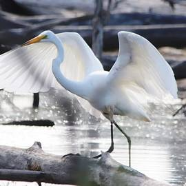 Great Egret Angel Wings by Marlin and Laura Hum