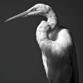 Great Egret Bird Profile Portrait by Kathy Gail