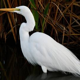 Great Egret by the Reeds by Richard Bryce and Family