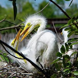 Great Egret Chicks by John Black