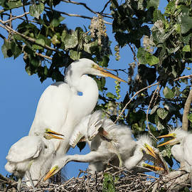 Great Egret Chicks with Mom  by Kathleen Bishop