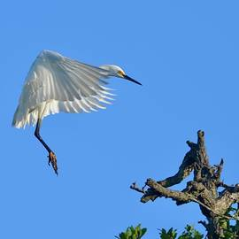 Snowy Egret Cleared For Landing by Richard Bryce and Family