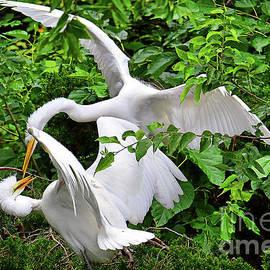 Great Egret Family Fracas by Regina Geoghan