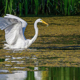 Great Egret Fishing by LeeAnn McLaneGoetz McLaneGoetzStudioLLCcom