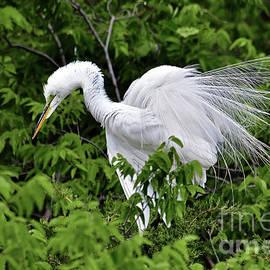 Great Egret in Breeding Plumage by Regina Geoghan