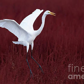 Great Egret in field of red by Bryan Keil