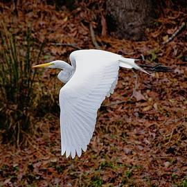 Great Egret in Flight by Benjamin Clardy
