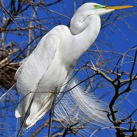 Great Egret on a Windy Day by Richard Bryce and Family