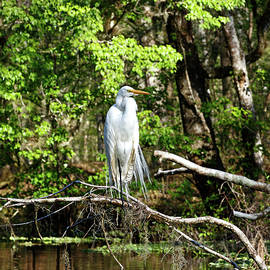 Great Egret On Tree Branch by Sally Weigand
