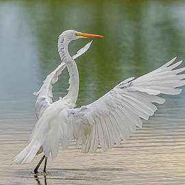Great Egret With Extended Wings by Morris Finkelstein