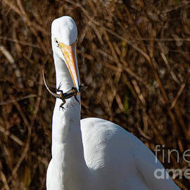 Great Egret with Lizard 1193 by Craig Corwin