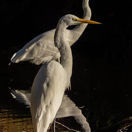 Great Egrets in the Backwater 11/15 by Bruce Frye