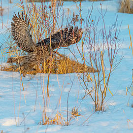 Great Gray Owl Hunting #12 by Morris Finkelstein
