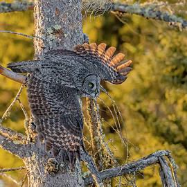 Great Gray Owl Hunting #3 by Morris Finkelstein