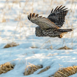 Great Gray Owl Hunting #5 by Morris Finkelstein