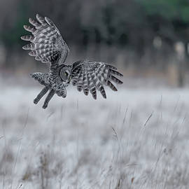 Great Gray Owl Hunting At Sunset #4 by Morris Finkelstein