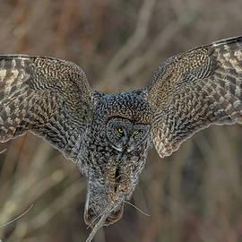 Great Gray Ready To Hunt #2 by Morris Finkelstein