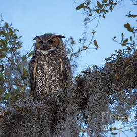 Great Horned Owl 2 by L Bosco