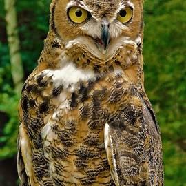 - Great Horned Owl 2