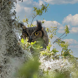 Great Horned Owl #2 by TJ Baccari