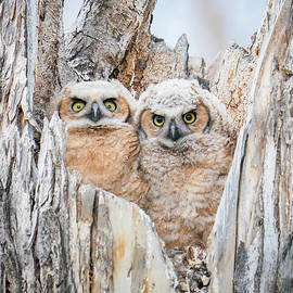 Great Horned Owl Babies by Judi Dressler