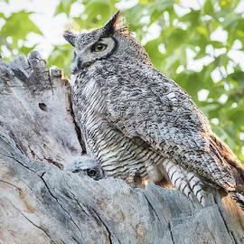 Great Horned Owl At Nest by Jurgen Lorenzen
