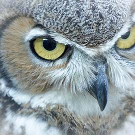 Great Horned Owl by Susan Rydberg