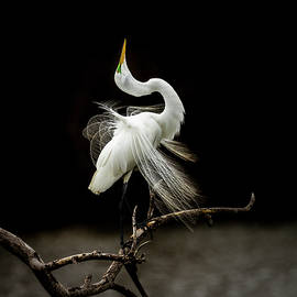 Great White Egret Feathers III by Patti Deters