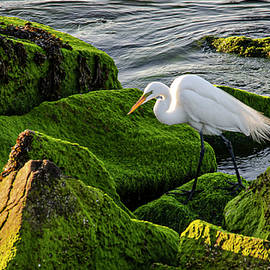 Great White Egret by Jim Cook