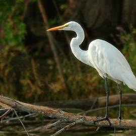 Great White Egret Late In The day by Jim Hughes
