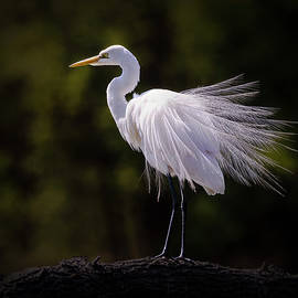 Great White Egret Profile Pose by Patti Deters