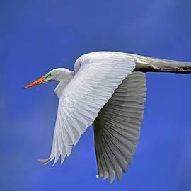 Great White Egret by Stuart Harrison