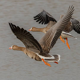 Greater White Fronted Geese Flying by Morris Finkelstein