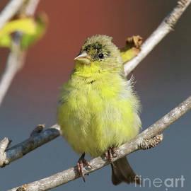 Green-Back Lesser Goldfinch by Cheryl Gidding