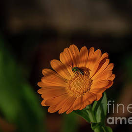 Green Bee on Orange Daisy by Linda Howes