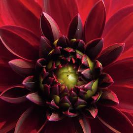 Green-Eyed Crimson Dahlia by Rebekkah Burtcher