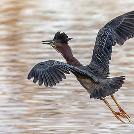 Green Heron 2314-010220 by Tam Ryan