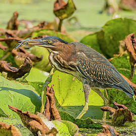 Green Heron And Dragonfly by Morris Finkelstein