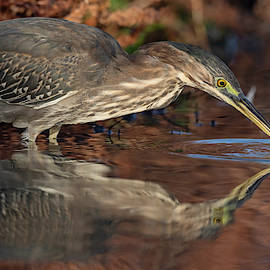 Green Heron in Autumn. by Paul Martin