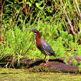 Green Heron In Marsh 2 by Daniel Beard