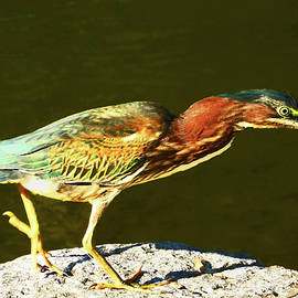 Green Heron in the Spotlight by Emmy Marie Vickers