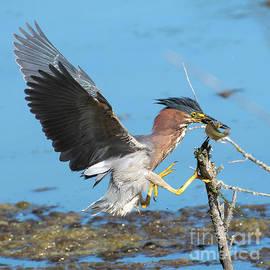 Green Heron Landing a Blue Gill Fish by Jackie Follett