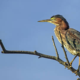 Green Heron Portrait by Francis Sullivan