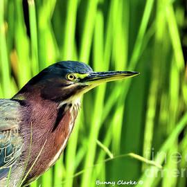 Green Heron Stare by Bunny Clarke