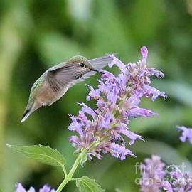 Green Hummingbird on Purple Flower Square by Carol Groenen